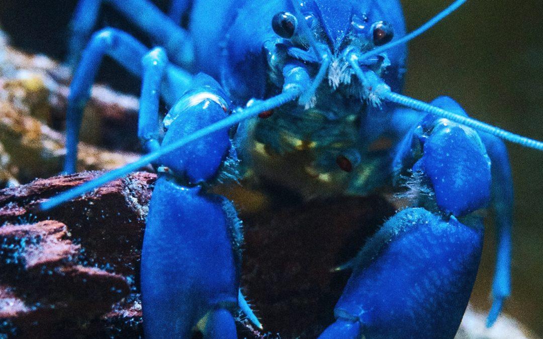 Lopsided Lobsters